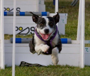 Selma Flyball racing in Wales